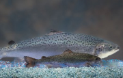 Brouhaha over GM salmon image